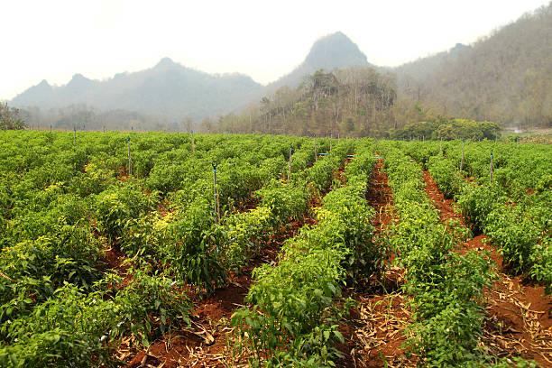 Green chili-Plantage – Foto