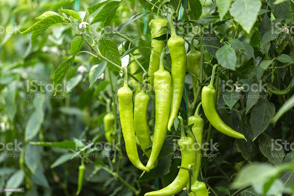 green chilli on farm field stock photo