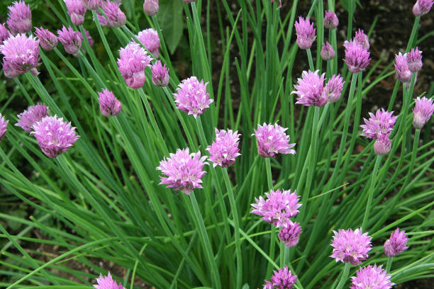 Green chives with pink flowers stock photo