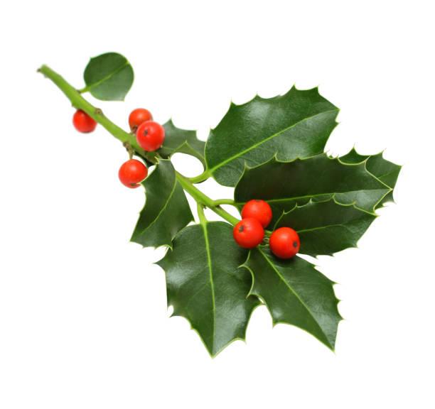 green christmas holly isoliert - stechpalme stock-fotos und bilder