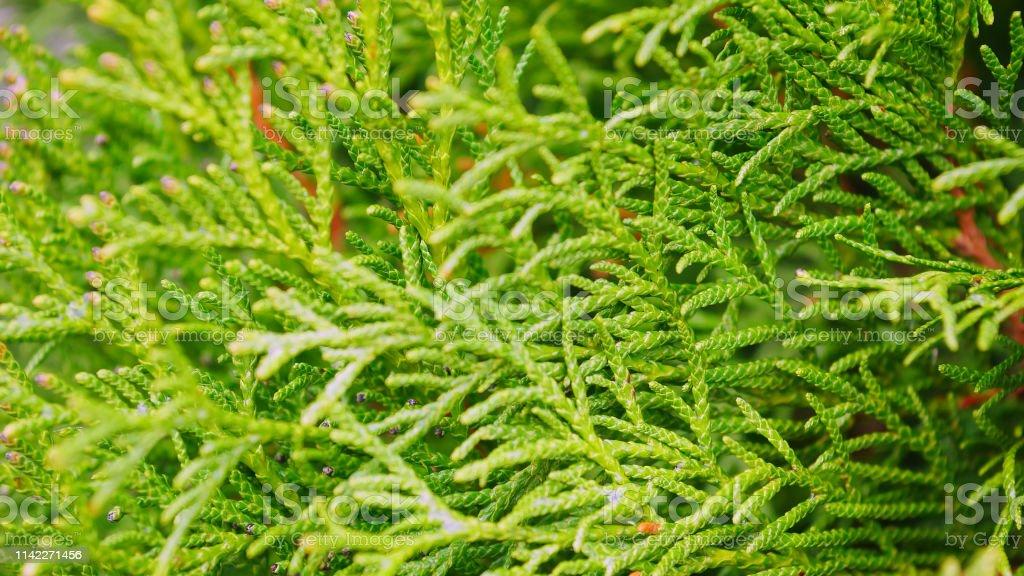 Gdzie mogę kupić odebrane ładne buty Hojas De Navidad Verdes De Fondo De Árboles Thuja Foto de ...
