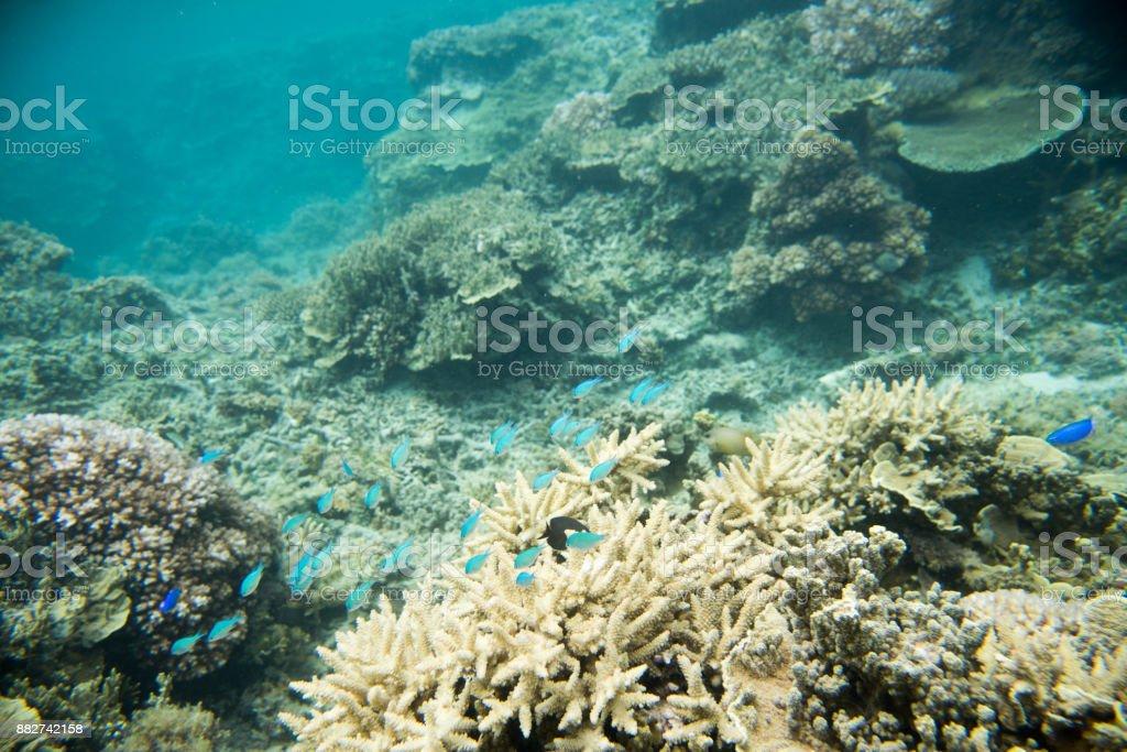 Green Chromis in Astrolabe Reef stock photo