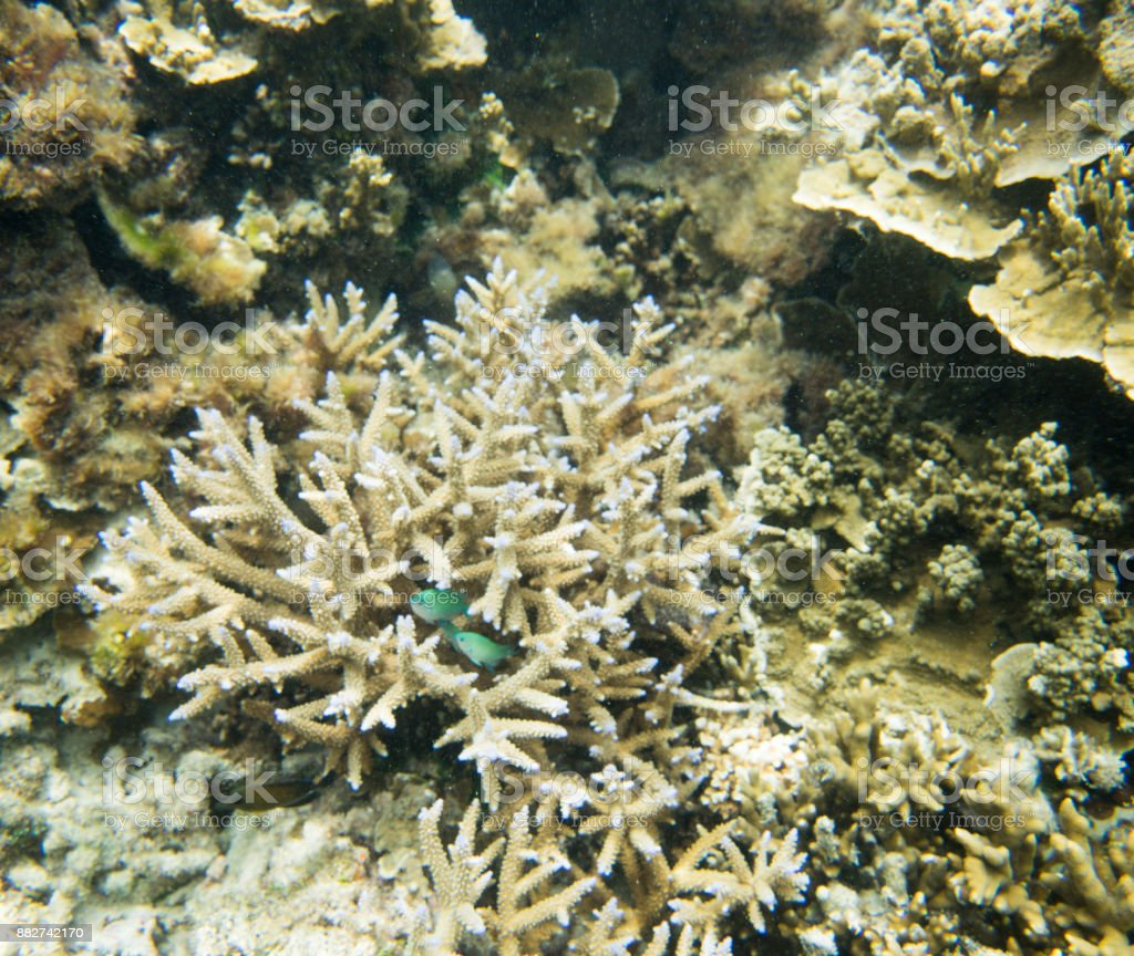 Green Chromis in Coral stock photo