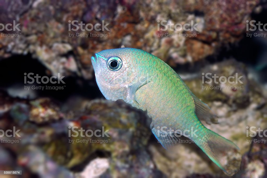 Green chromis (Chromis viridis) stock photo