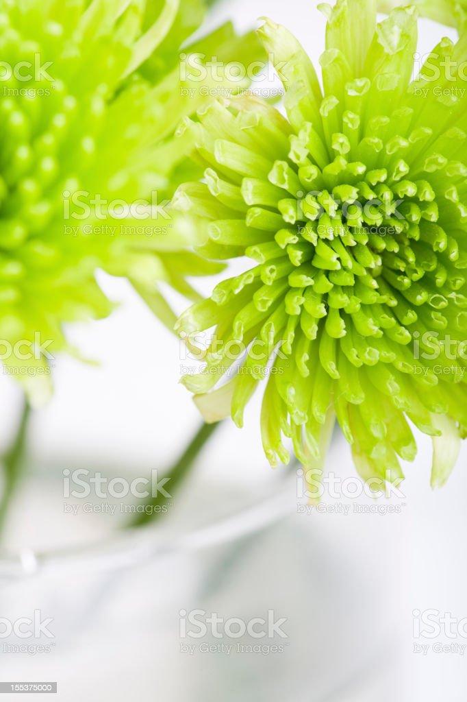 Green Chrysanthemum royalty-free stock photo