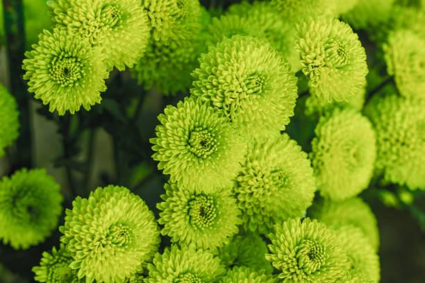 Green chrysanthemums close up picture id1187172230?b=1&k=6&m=1187172230&s=612x612&w=0&h=58m5uvj9nhusqkudwcbxiaohcuxiqzb5orvnrhqodhg=