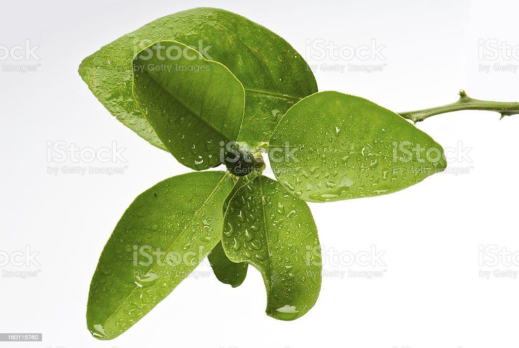 Green Citrus Orange Tree Leaves royalty-free stock photo