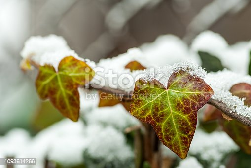 istock Green Climber Liana Ivy bush tree plant covered with snow in the winter season close up selective focus 1093614266