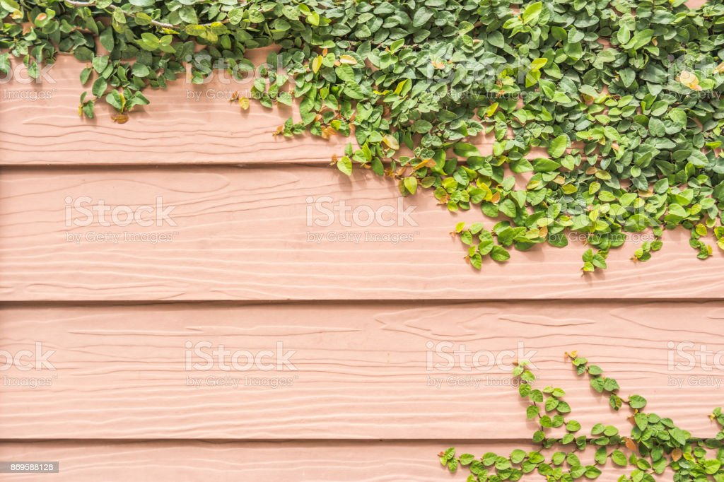 Green climber on wooden wall background stock photo