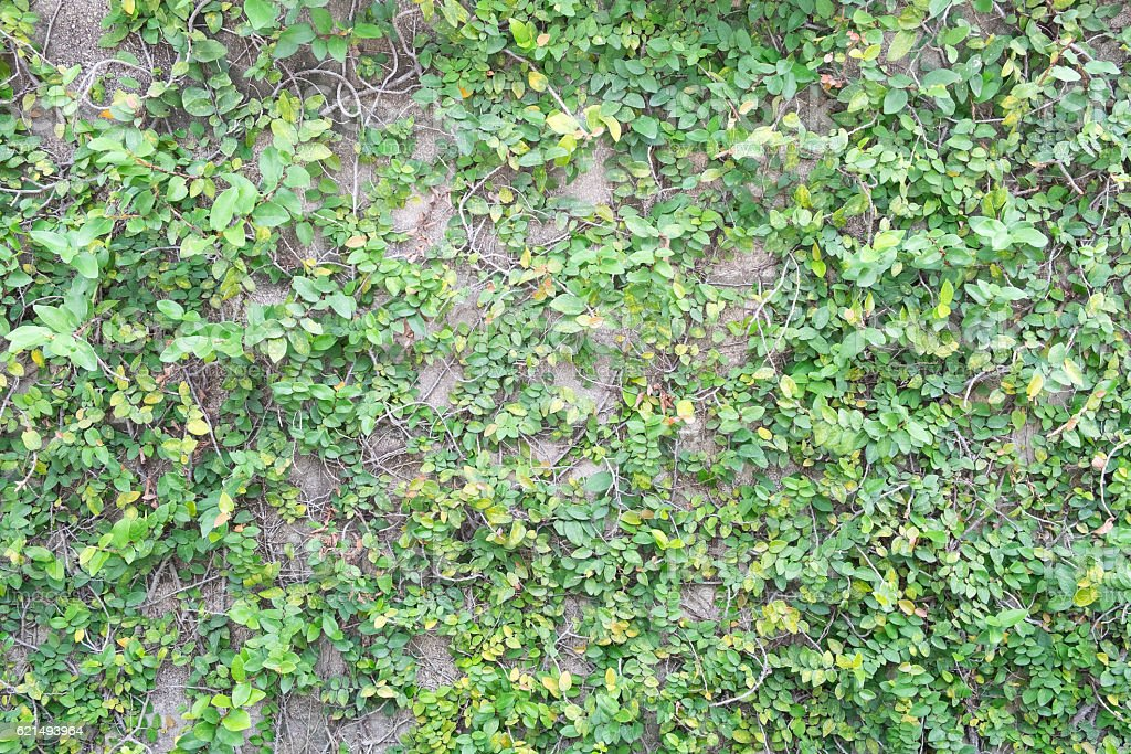 Green climber plant on dirty brick wall photo libre de droits