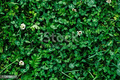 Green grass and clover background