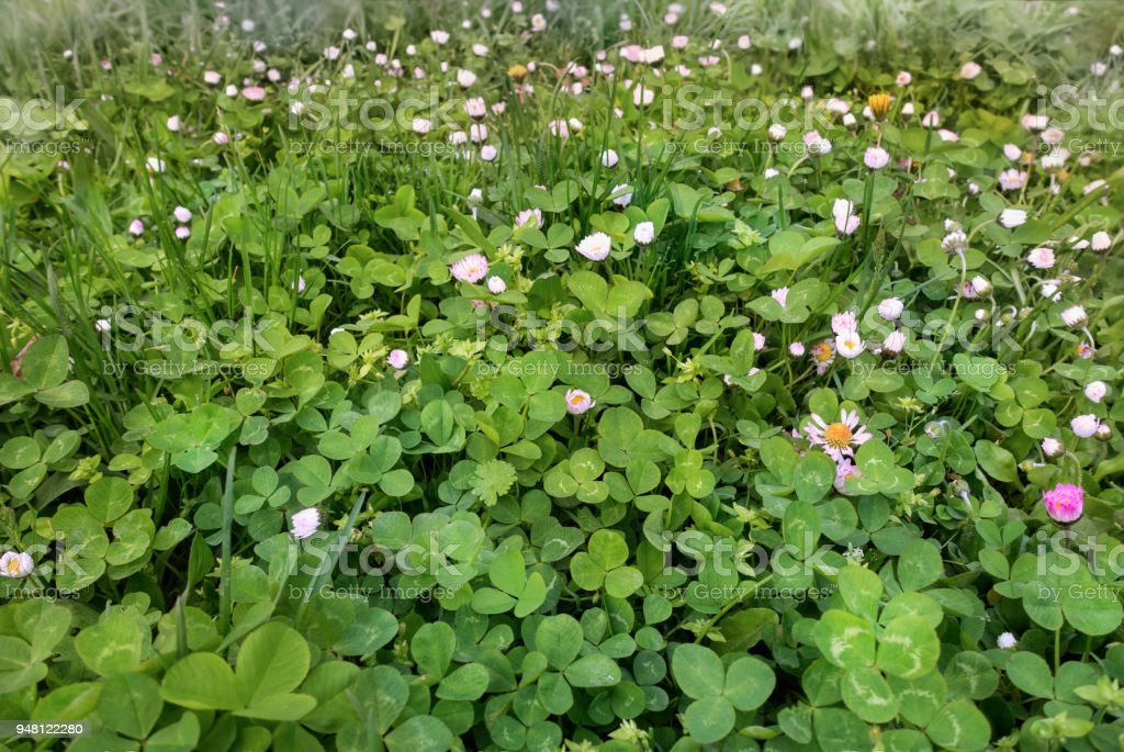 Green clover and lawn daisy meadow stock photo