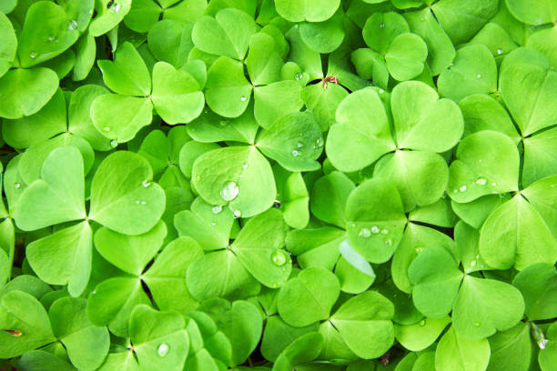 green clover background - luck of the irish stock photos and pictures