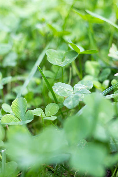 Green Clover Close Up Close up of green clover kathrynsk stock pictures, royalty-free photos & images