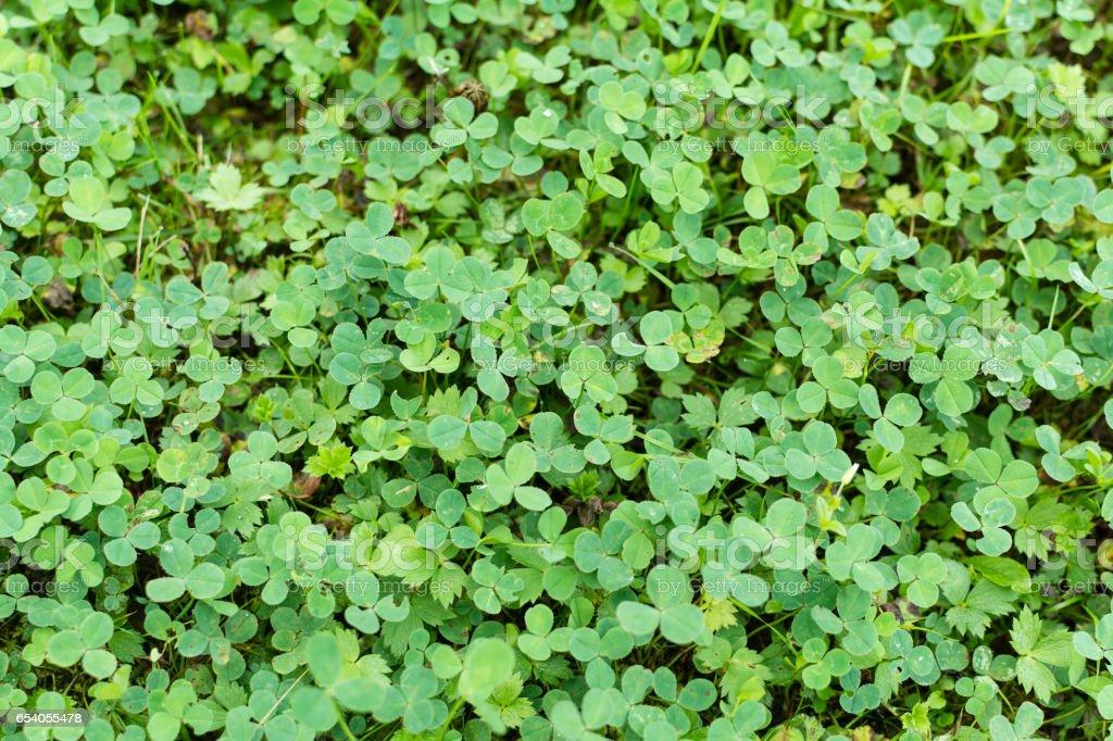 Grünen Klee Boden Auf Rasen Im Garten Stockfoto Und Mehr Bilder Von