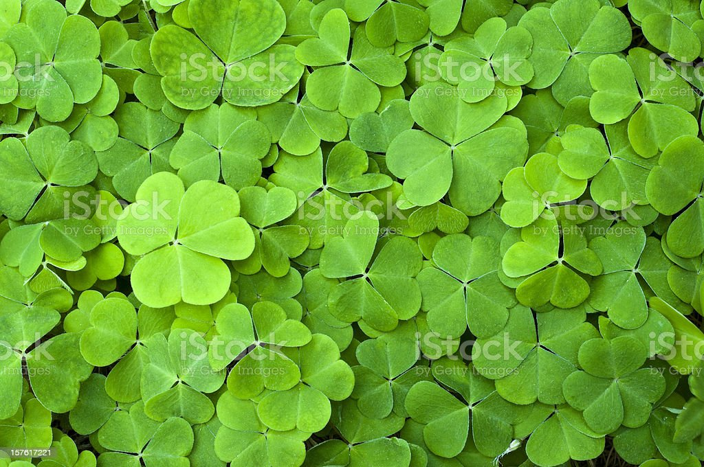 Green clover field stock photo