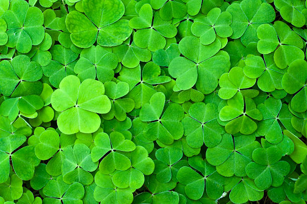 green clover field - st patricks day stock photos and pictures