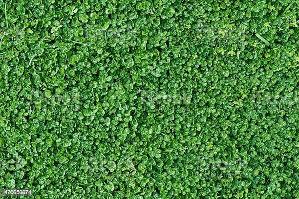 Green clover field picture id470656674?b=1&k=6&m=470656674&s=612x612&h=zb29x7schdw4d7lwdut6hjpmhznodcbbpke4rs9 i14=
