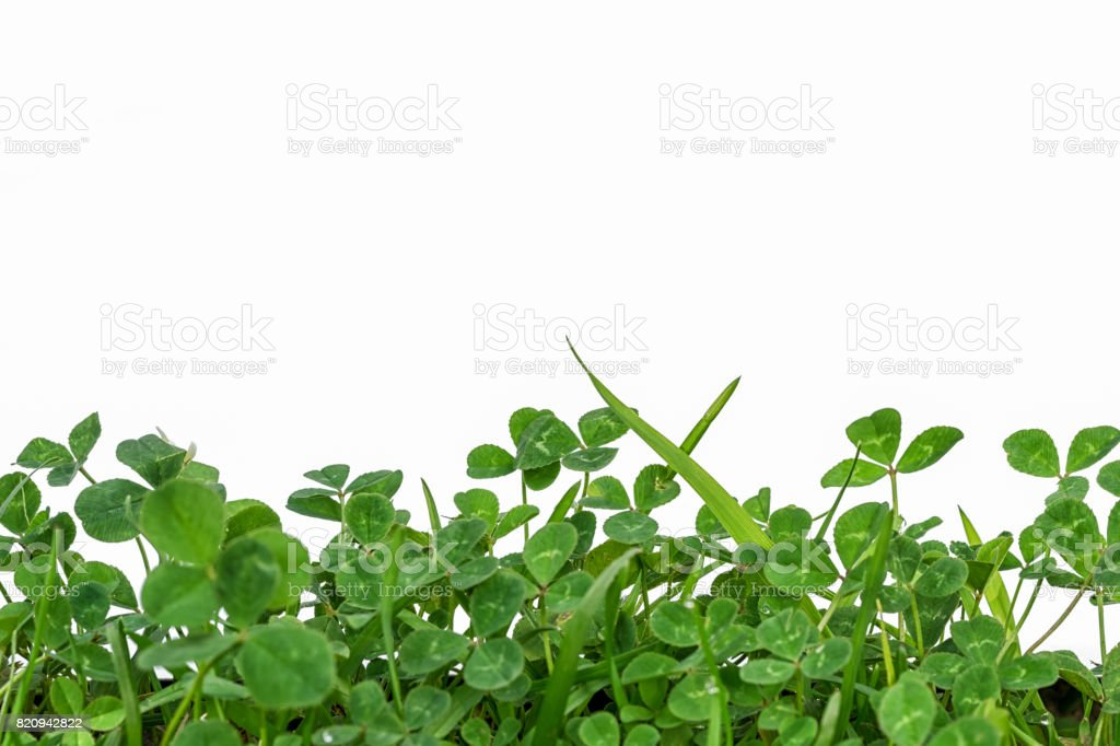 green clover frame at the bottom isolated on white background and copy space for your text stock photo