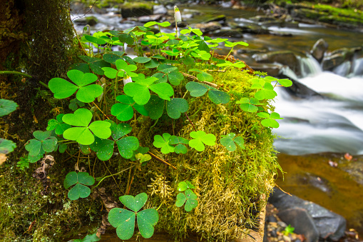 istock Green clover leafs in the forest 925643636