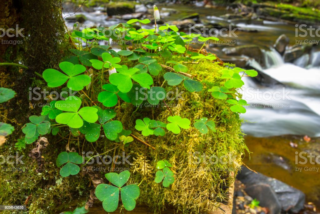 Green clover leafs in the forest – zdjęcie