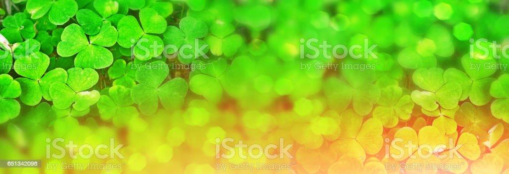 Green clover leaves stock photo