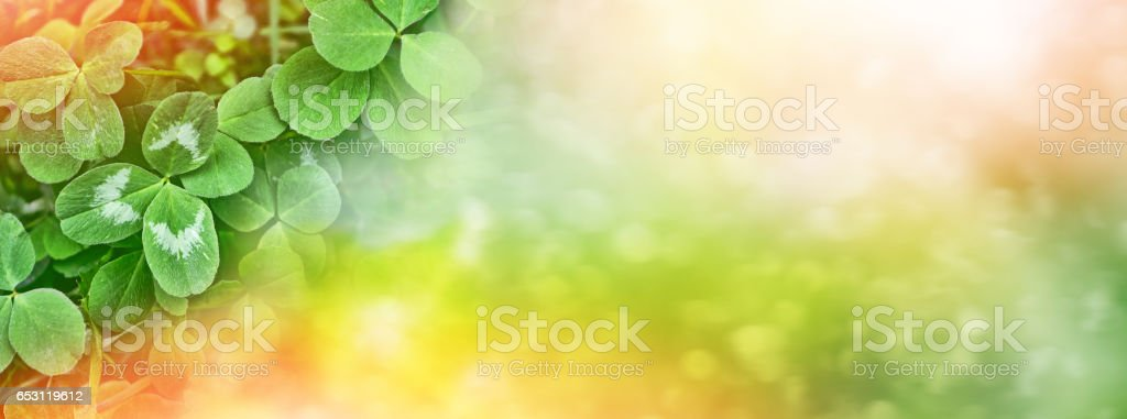 Green clover leaves stock photo