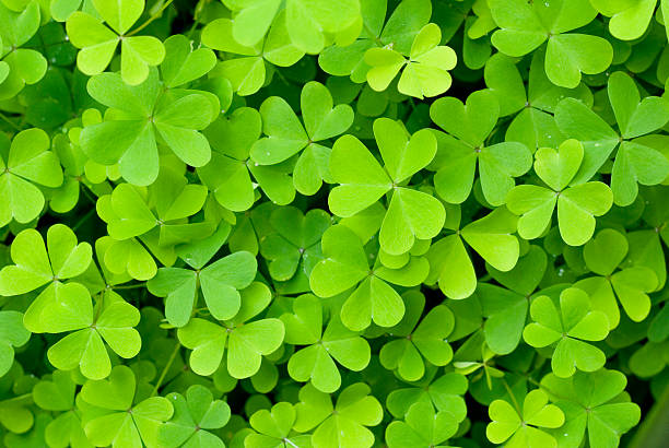 green clover - st patricks days stock photos and pictures