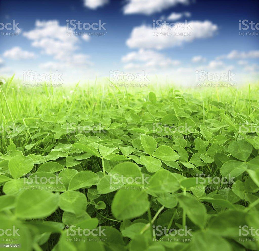 green clover stock photo