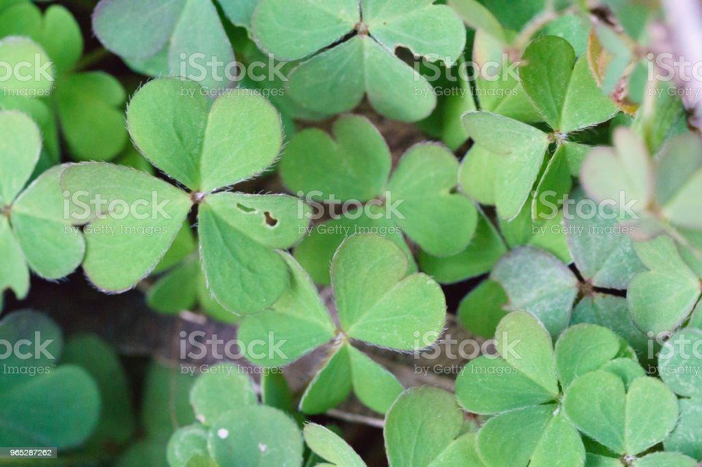 green clover plants zbiór zdjęć royalty-free