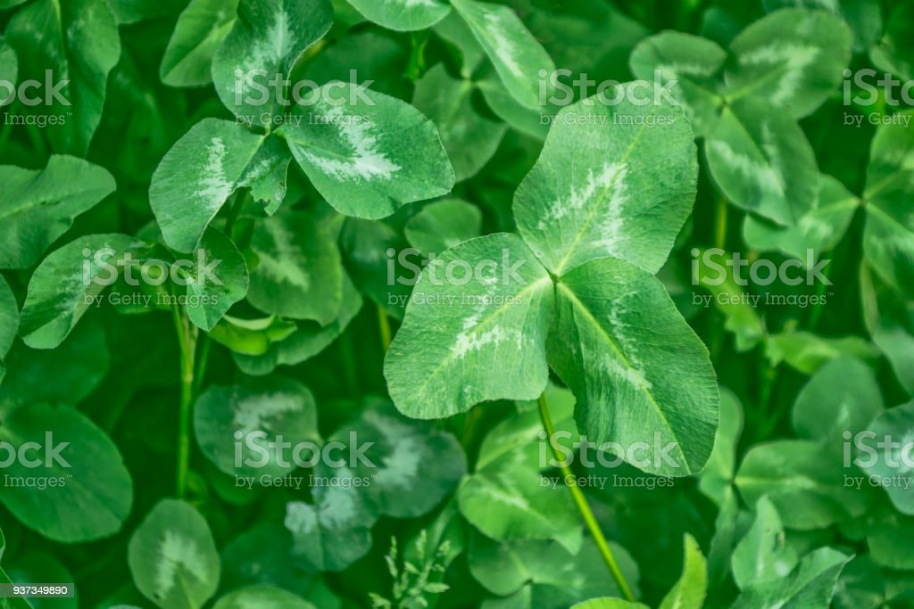 green clover. St.Patrick 's Day stock photo