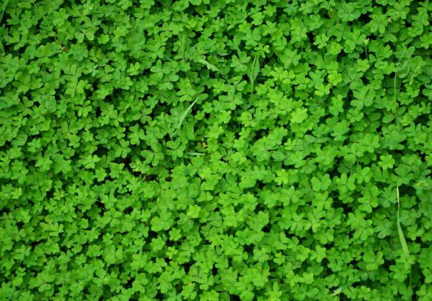 Green clover top view picture id890170944?b=1&k=6&m=890170944&s=612x612&w=0&h=jpk juuozibwwon9umcdvxkcbpyn3ycfqme23q4niq4=
