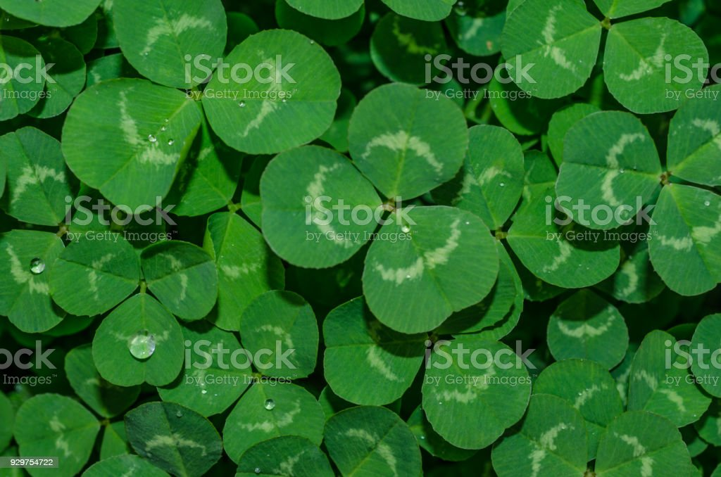 Green clover with dew drops stock photo