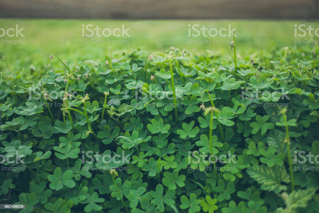 Green clovers texture and background. Close up view of field of clovers. Natural pattern. Organic background. Abstract texture and background for designers. Green meadows. royalty-free stock photo