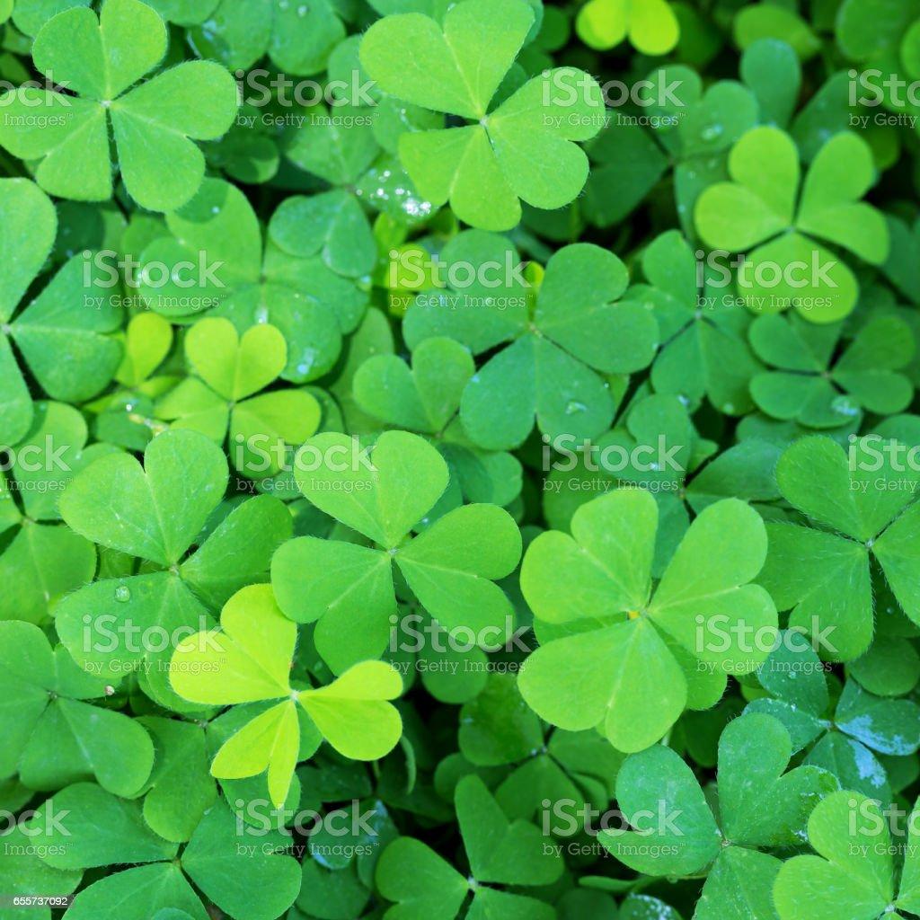 Grüne Kleeblätter mit Mikro-Wassertropfen – Foto
