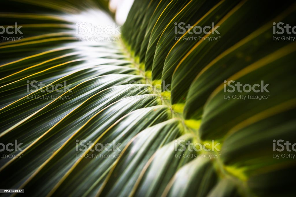 Green coconut leaf selective focus, abstract background. stock photo
