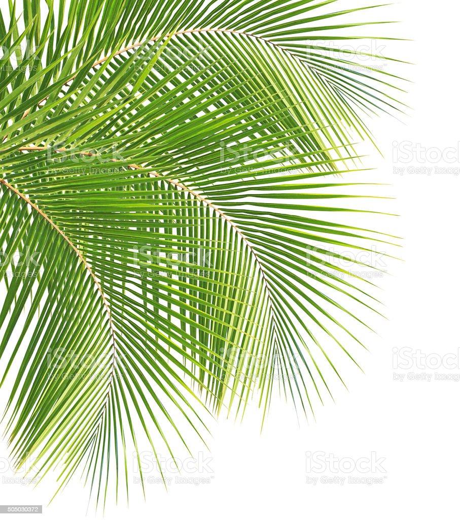 Vert feuilles de noix de coco photos et plus d 39 images de - Palmier noix de coco ...