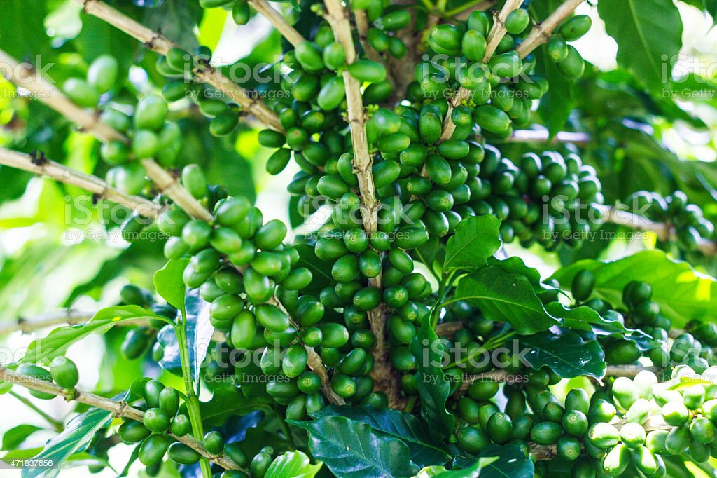 green coffee' bean on tree stock photo