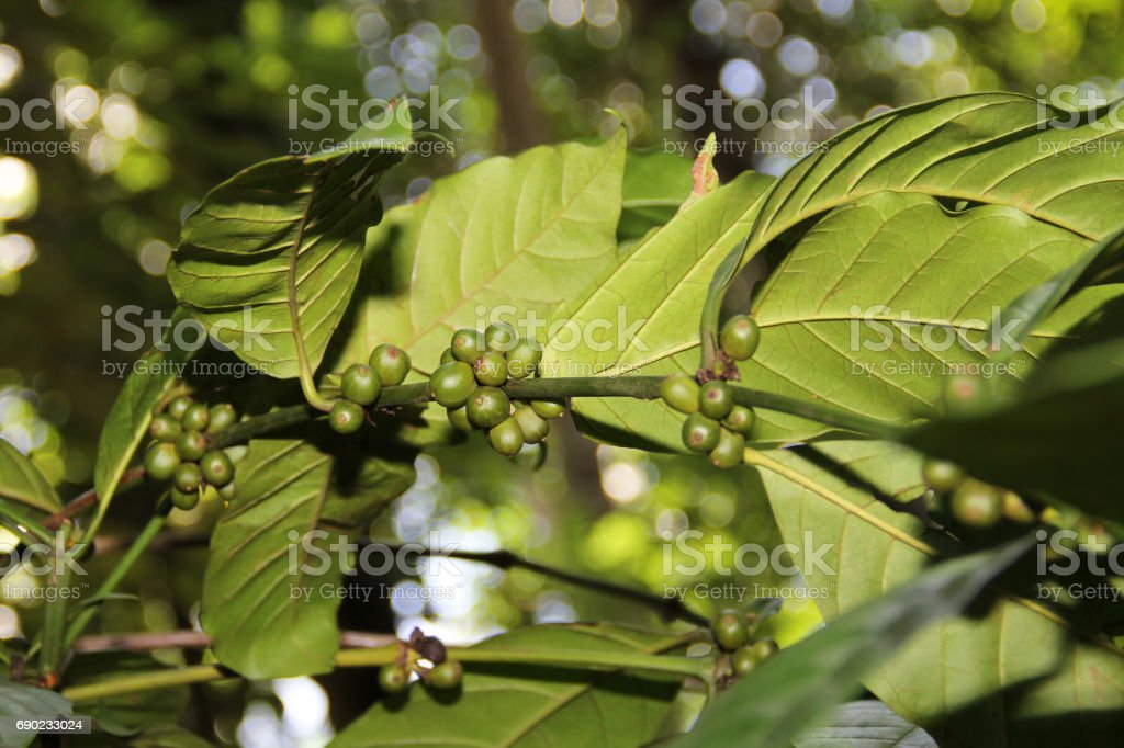 Green Coffee Beans Grow On Tree Stock Photo Download Image Now