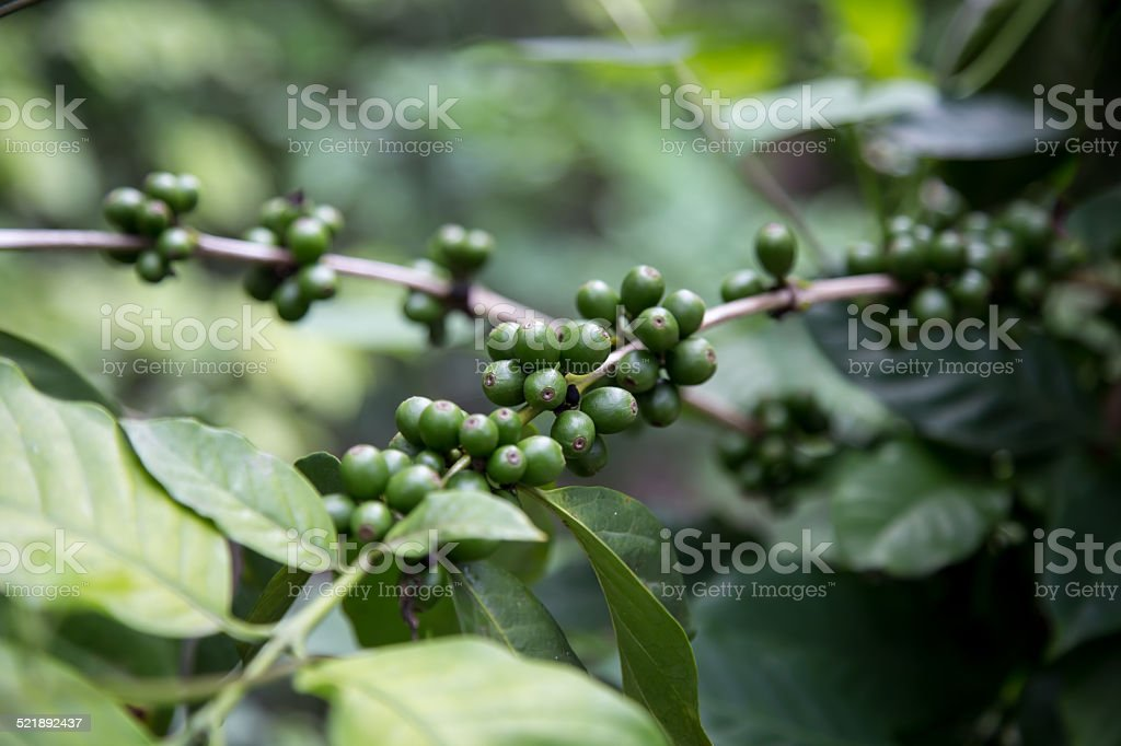 Green Coffee Beans Growing On The Branch In Nicaragua Stock Photo