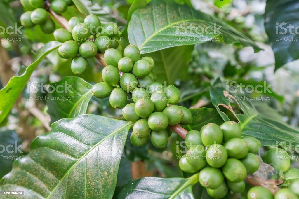 Green coffee beans growing on the branch. raw coffee bean on coffee tree plantation. Closeup fresh raw coffee bean on tree. - Foto stock royalty-free di Argilla