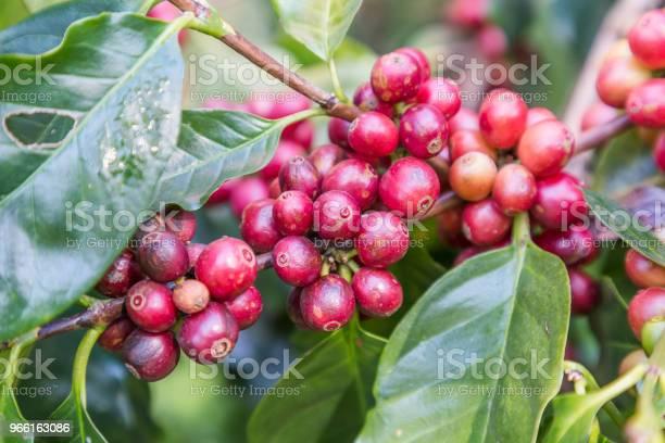 Gröna Kaffebönor Växer På Grenen Råa Kaffebönor På Kaffe Tree Plantation Närbild Färska Råa Kaffebönor På Träd-foton och fler bilder på Bildbakgrund