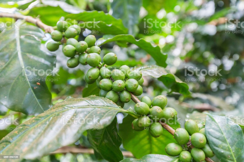 Green Coffee Beans Growing On The Branch Raw Coffee Bean On Coffee
