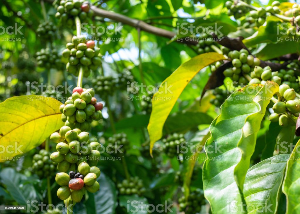 Green Coffee Beans On A Coffee Tree Stock Photo Download Image