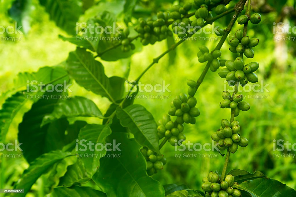 Green coffee beans on the tree stock photo