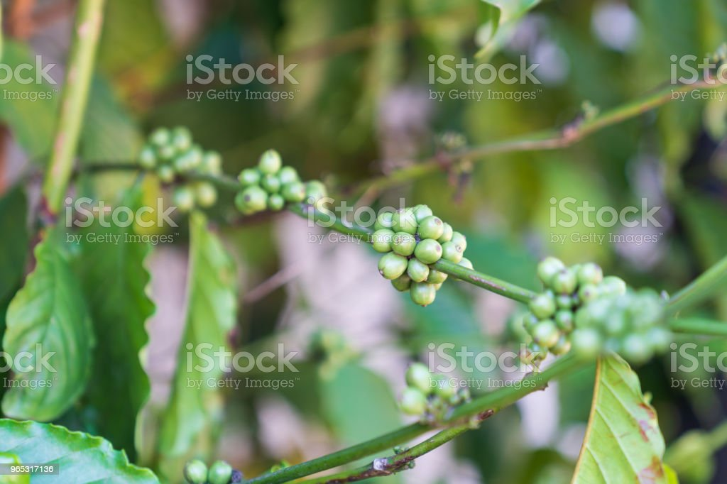 Green coffee beans on trees background. royalty-free stock photo