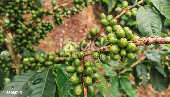 Green coffee beans  in garden on the moutain.