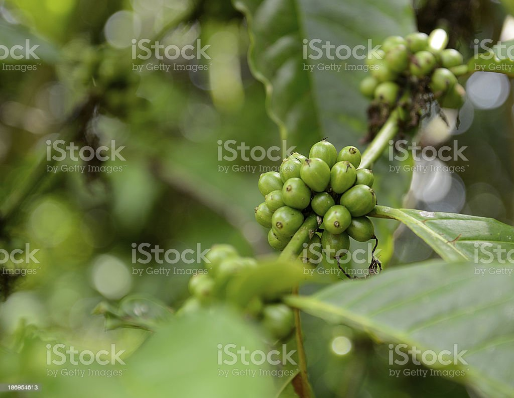green coffee beans royalty-free stock photo