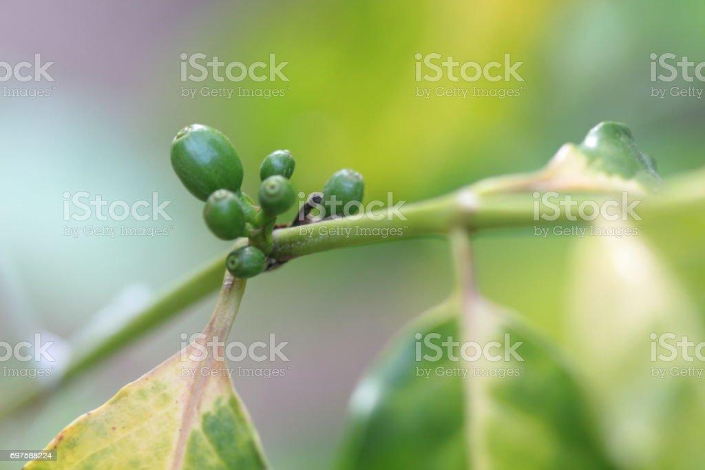 Green coffee beans stock photo
