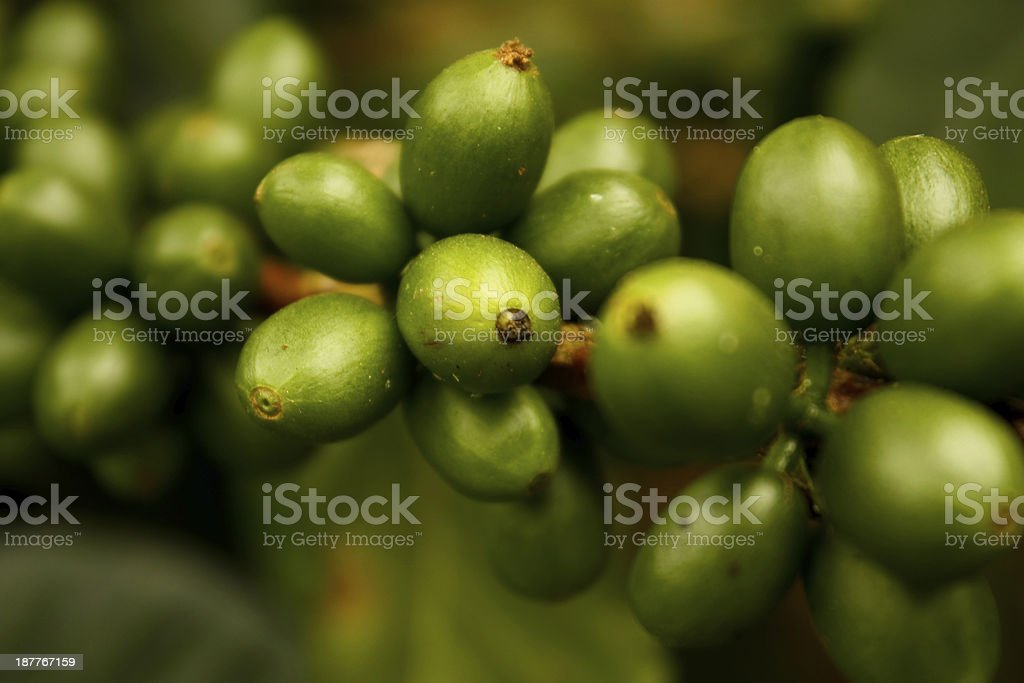 Green coffee. Colombia royalty-free stock photo